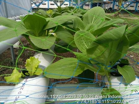 penyuluh pertanian BPP DUSUN TIMUR dinas pertanian kabupaten Barito Timur KALTENG mengontrol kondisi tanaman hidroponik