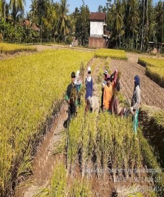 Penggunaan Poc Marolis Dan Agensia Hayati Untuk Budidaya Tanaman Padi Desa Bendoroto
