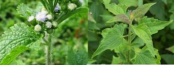 Pestisida Nabati Dari Bahan Rumput Babadotan Atau Bandotan