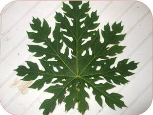 Ekstrak Daun Pepaya Carica Papaya Sebagai Pestisida Alami