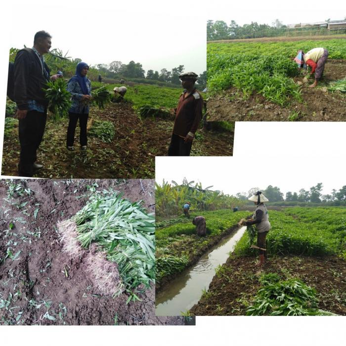 Meraup Keuntungan Dengan Budidaya Kangkung Darat Di Kecamatan Tukdana, Kabupaten Indramayu