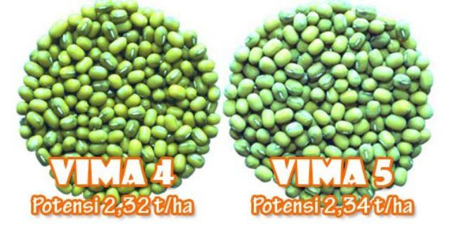 mengenal varietas unggul kacang hijau vima 4 dan vima 5, berumur genjah dan potensi hasil tinggi