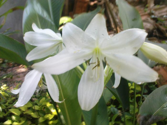 Cara Menanam Dan Merawat Bunga Lily Dalam Pot