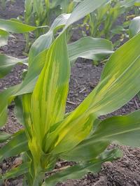 penyakit helminthosporium maydis pada jagung