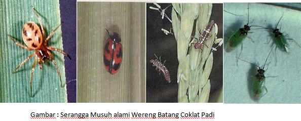 Hama Wereng Batang Coklat Wbc Pada Tanaman Padi