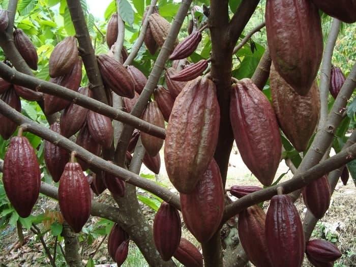 upaya pelestarian sumber daya genetik langsat lokal sulawesi barat
