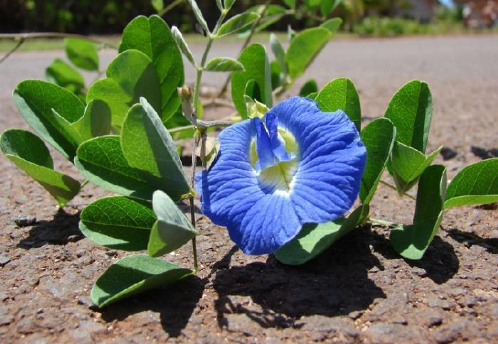 Cara Menanam Bunga Telang Yang Benar Agar Berbunga Sepanjang Tahun