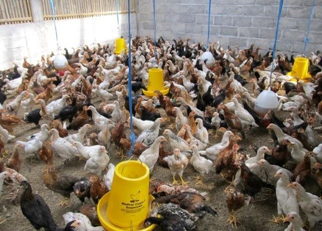Budidaya Ayam Kampung Super / Jawa Super (Joper)