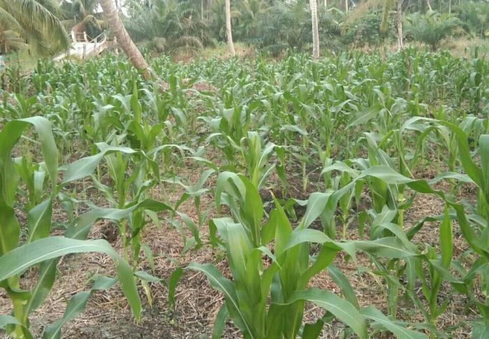 Tumpang sari solusi pemanfaatan lahan