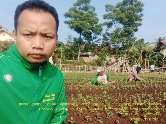 Budidaya Gingseng