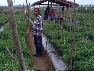 Pengembangan Komoditi Cabe Merah Kecamatan Baktiya Barat