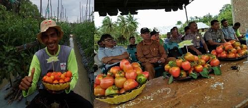 Panen Tomat Di WKBPP Dewantara