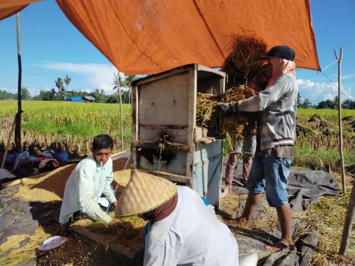 Padi di Kabupaten Sumbawa memasuki masa panen, Pertanian Tidak Berhenti.