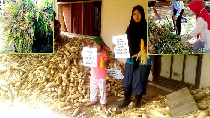 Panen Pangan Dan Panen Pakan Di Desa Masago, Sulsel
