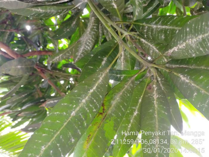 Pengendalian Hama dan Penyakit pada Tanaman Mangga