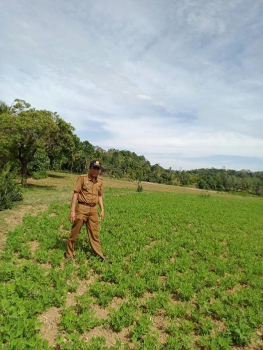 Hama dan Penyakit Tanaman Kacang Tanah