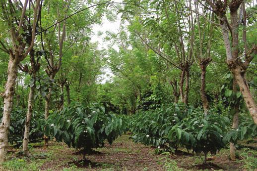 PENTINGNYA POHON PENAUNG PADA BUDIDAYA TANAMAN KOPI (Coffea sp.)