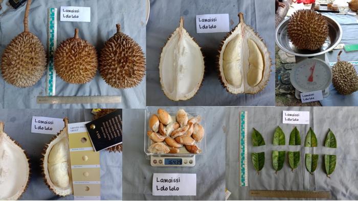 "Karakterisasi Morfologi Durian Lokal ""Lamaissi Lolo lolo"" asal Kabupaten Polewali Mandar"