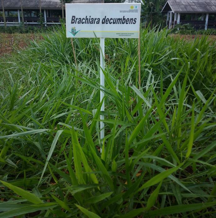 BUDIDAYA RUMPUT Brachiaria decumbens (Bede)