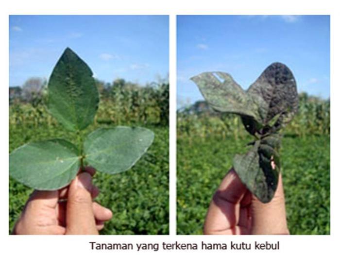 Potensi Jamur Aschersonia aleyrodis (A. aleyrodis) Menjadi Biopestisida untuk Mengendalikan Hama Kutu Kebul