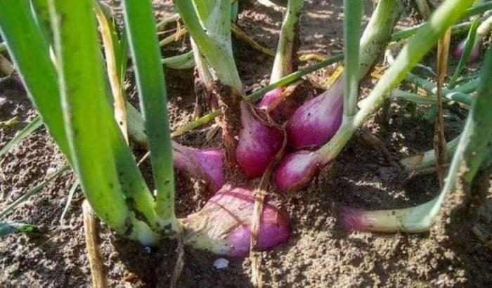 MENGENAL MORFOLOGI BAWANG MERAH (Allium  Ceppa L.)