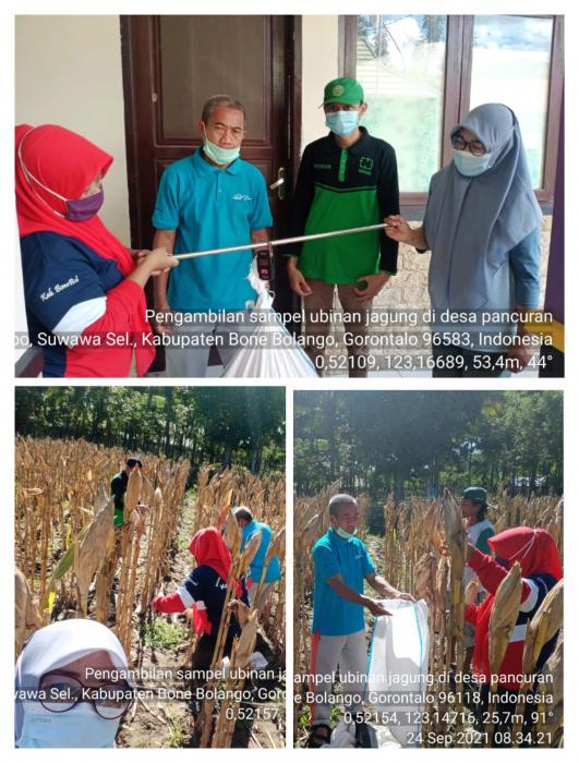 Pengambilan Sampel Ubinan Jagung di Kelompok Tani Pancuran 1, desa Pancuran