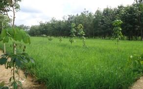 Tumpangsari tanaman pangan diantara tanaman karet muda