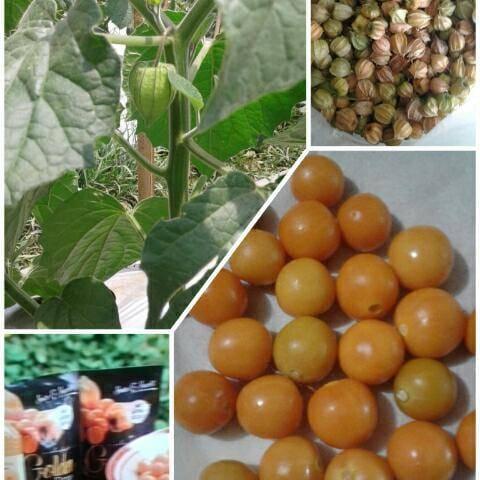 Dianggap Gulma, Golden Berry menjadi Berkah bagi Poktan di Lembang